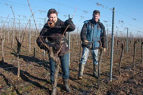 Arcure de la vigne